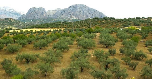 スペインアンダルシアに広がるオリーブ畑