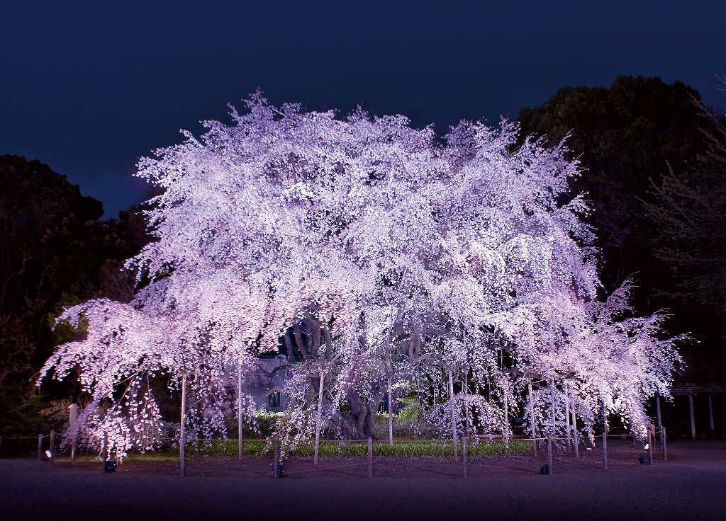 しだれ桜と大名庭園のライトアップ