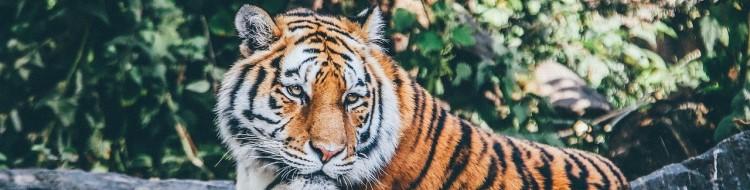 虎の日とは